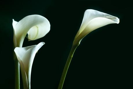 3 White Callas