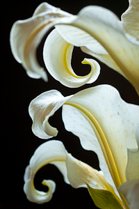 Asiatic Lilies 1