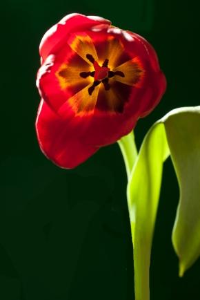 Orange Tulip, Vertical