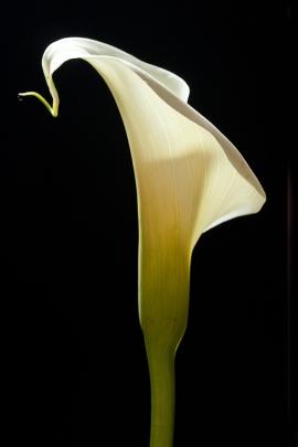 White Calla Vert