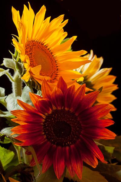 3 Sunflowers