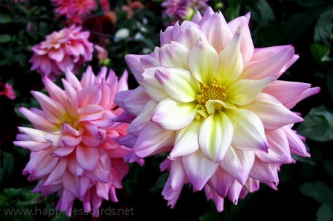 2 Pink and white dahliias_