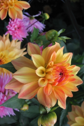 Multicolored Dahlias