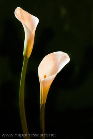 2 color azaleas-1