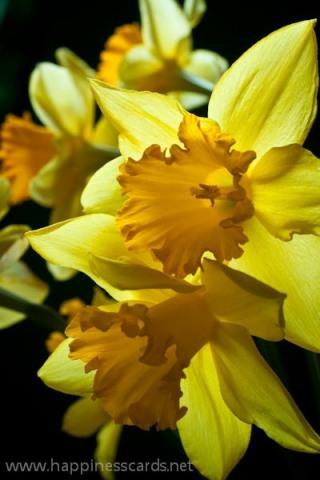 Daffodils-1