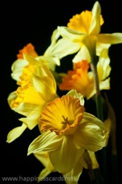 Daffodils 3-1