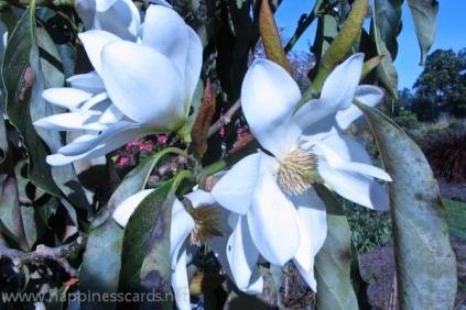 Magnolias-1