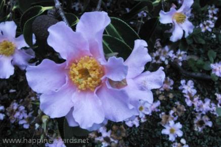 Pink Camellias-1