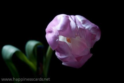 Pink Tulip-1
