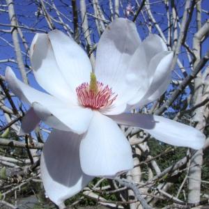 Magnolia 2-1
