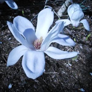 Magnolia 3-1