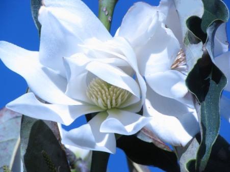 Magnolia 4-1