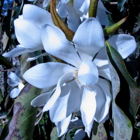 Magnolia 5-1