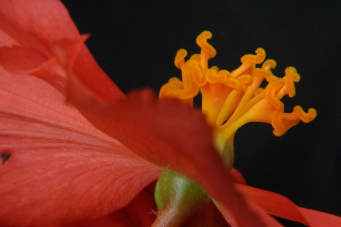 Begonia Close up