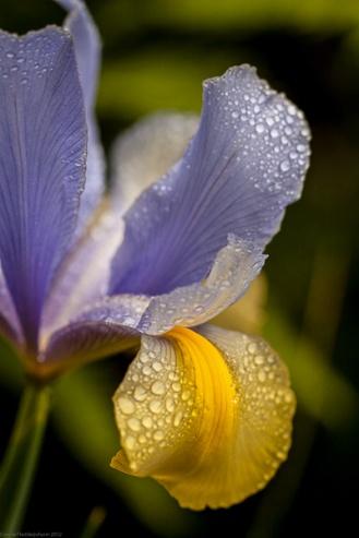 Blue & Gold Iris WP
