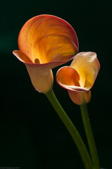 2 Golden Callas-1