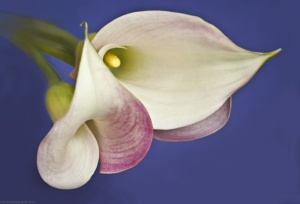 3 Callas on blue